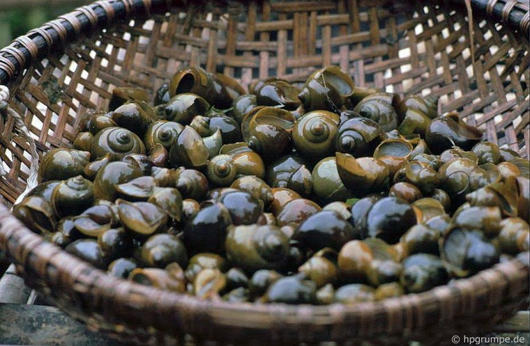 River snails - specialty of Ninh Binh